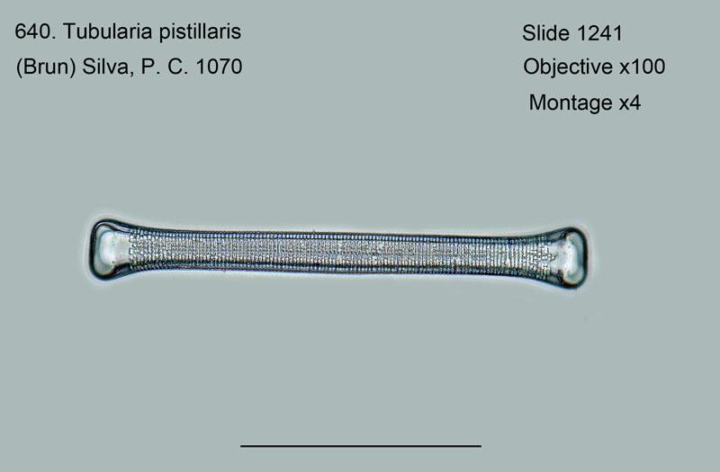 640. Tubularia pistillaris