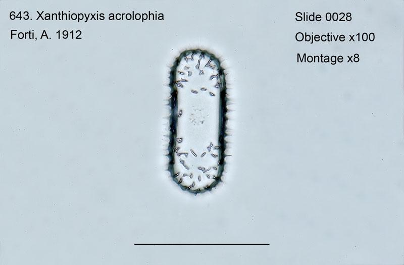 643. Xanthiopyxis acrolopha