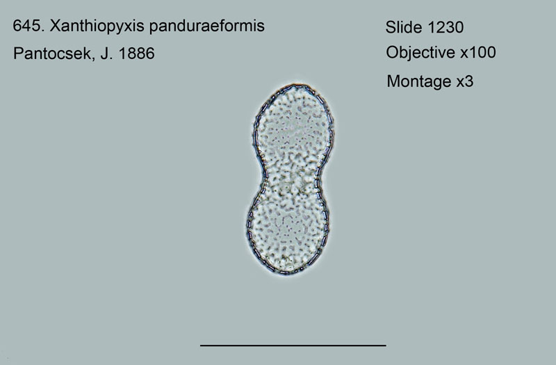 645. Xanthiopyxis panduraeformis