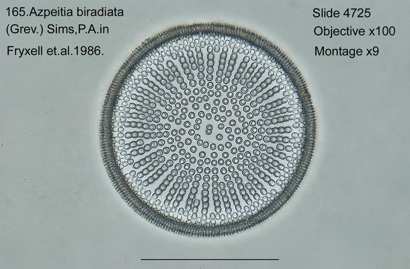 165 Azpeitia biradiata