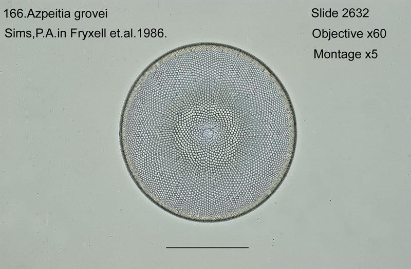 166 Azpeitia grovei