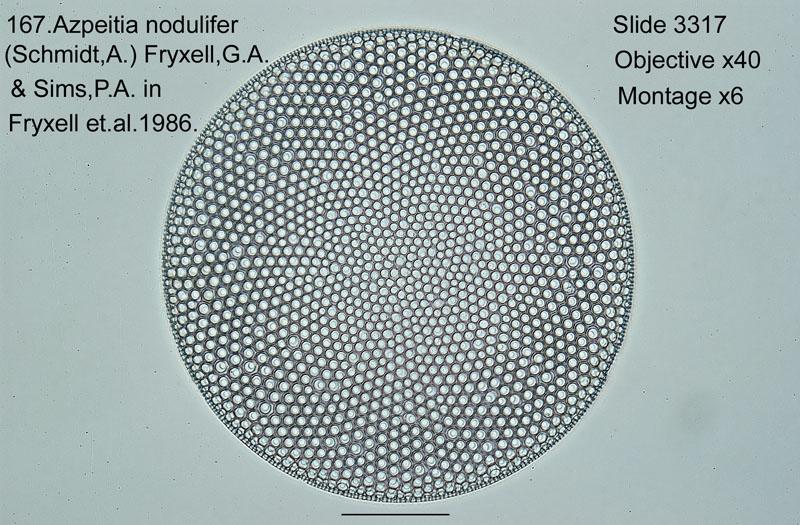 167 Azpeitia nodulifer