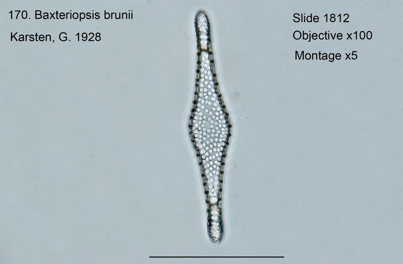 170 Baxteriopsis brunii