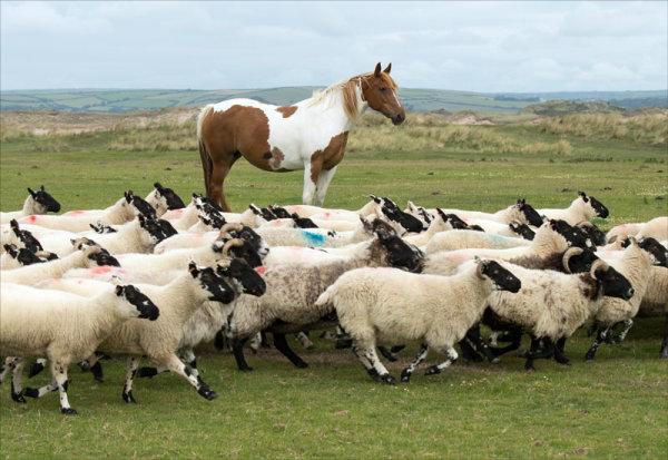 Standing Horse, Running Sheep