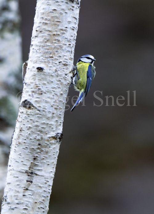 Blue Tit on Birch Tree