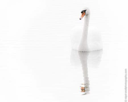 Mute Swan 4317