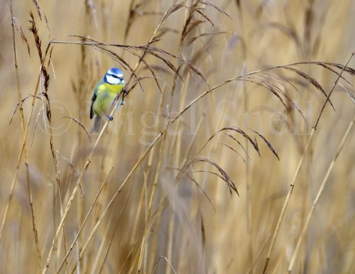 Blue Tit in reed bed