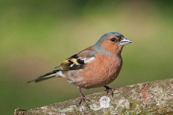 Cock Chaffinch