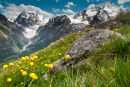 Globeflower in front of Mont Collon