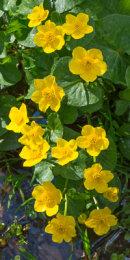 Marsh-marigold