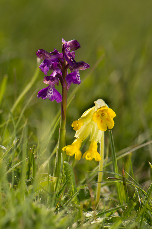 Green-winged orchid and Cowslip