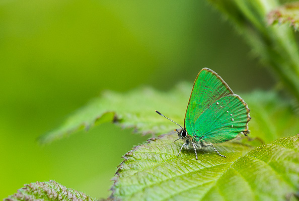 Green hairstreak