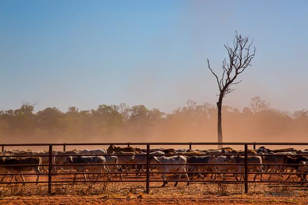 Cattle Ranch, Darwin