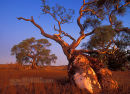 Sunset afterglow on Red River Gum Trees, Flinders Range, South Australia
