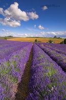 Lavender Field, Cotswolds