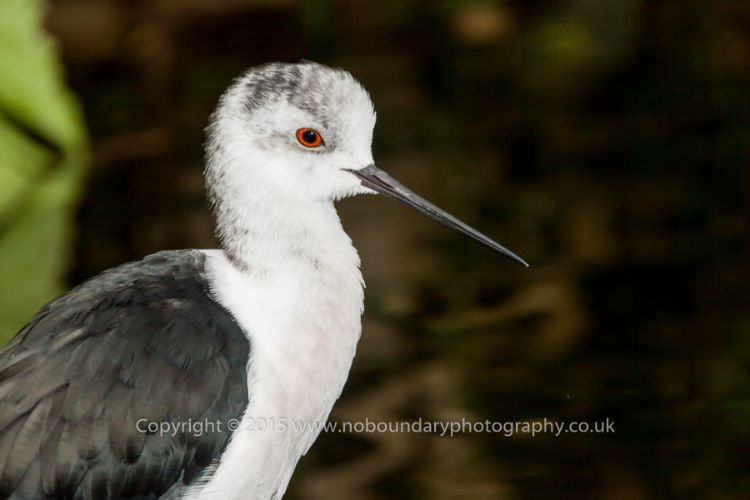 Black-winged stilt, Himantopus himantopus