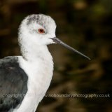 Black-winged stilt, Himantopus himantopus-0123
