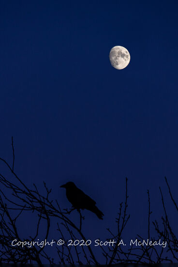 Corvid seen with moon near Ivinghoe Beacon-