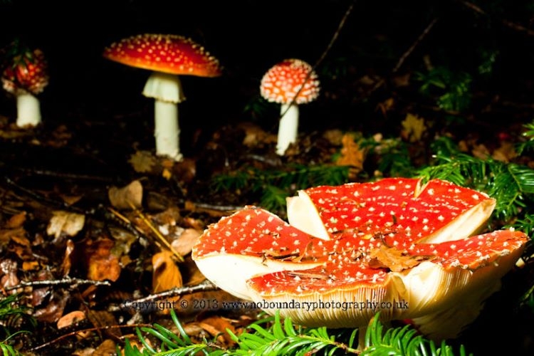 Fly Agaric, Amanita muscaria, Autumn Colour at Westonbirt National Arboretum