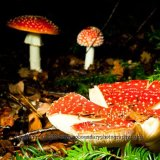 Fly Agaric, Amanita muscaria, Autumn Colour at Westonbirt National Arboretum-0096