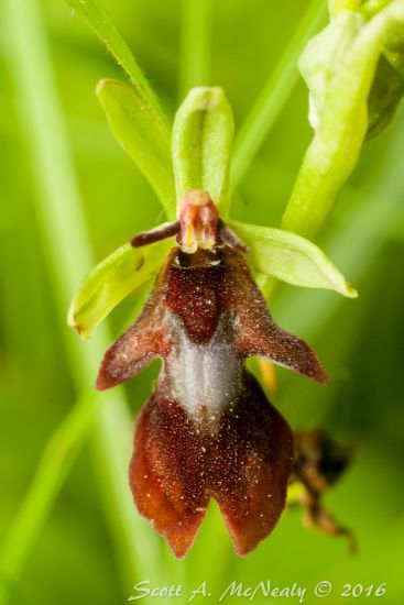 Fly Orchid, Ophrys insectifera, at Homefield Wood Berks, Bucks & Oxon Wildlife Trust-0157
