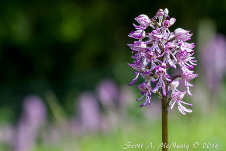 Hartslock Nature Reserve-Lady Orchid x Monkey Orchid