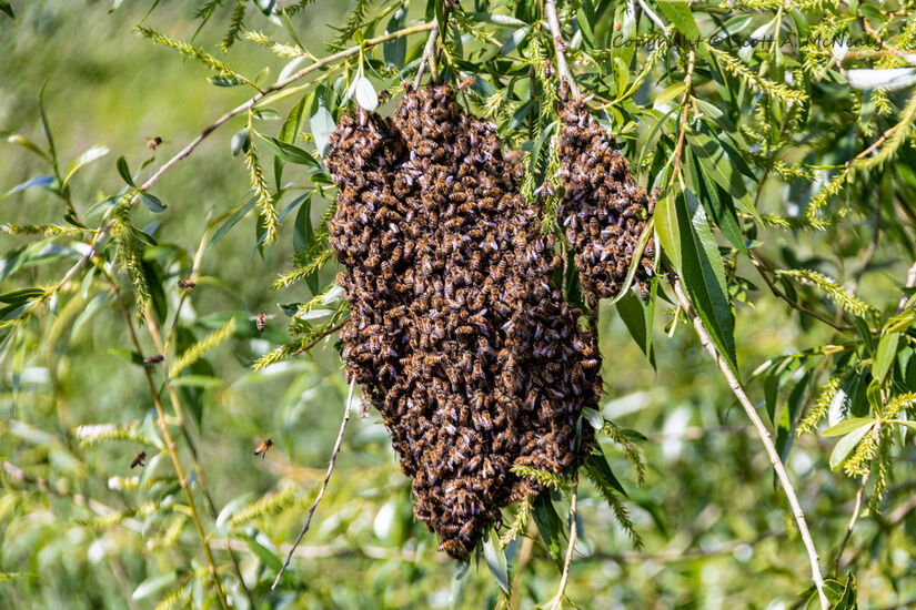 Honey Bee swarm, Apis mellifera-9266
