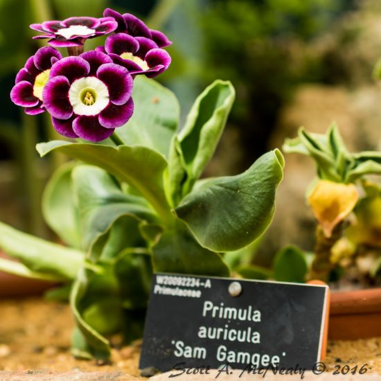 RHS Wisley-Alpine House-Primula auricula 'Sam Gamgee'