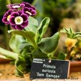 RHS Wisley-Alpine House-Primula auricula 'Sam Gamgee'-1059