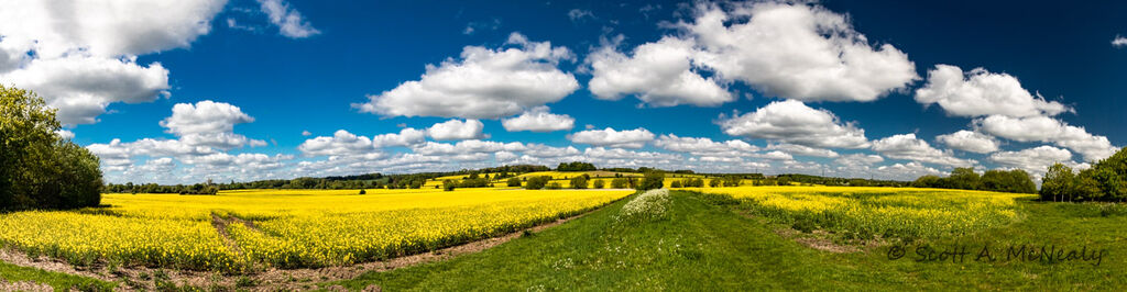 Rapeseed field, Brassica napus, Panorama