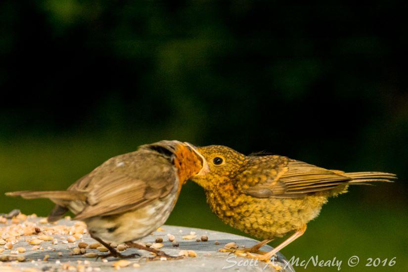 Robin, Erithacus rubecula, adult feeding young