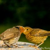 Robin, Erithacus rubecula, adult feeding young-2440