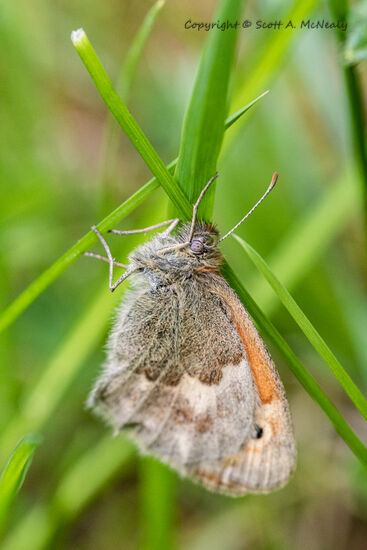 Small heath butterfly, Coenonympha pamphilus
