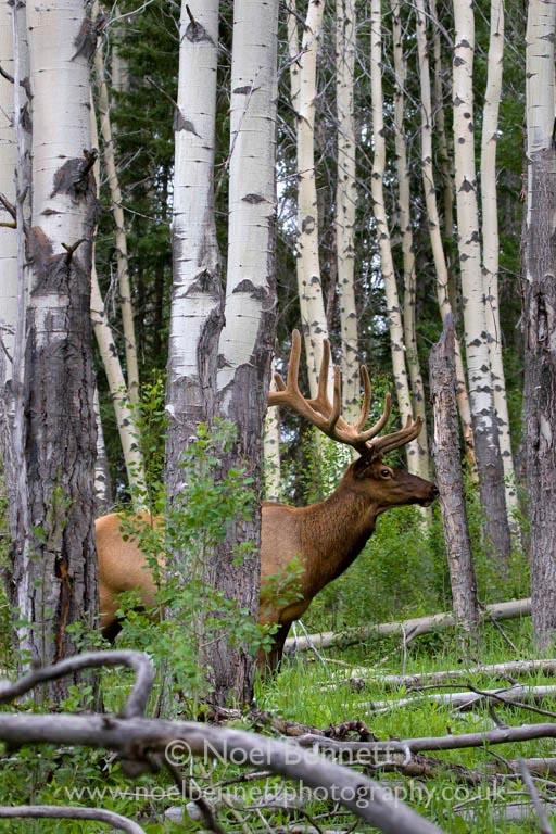 Elk In Aspen