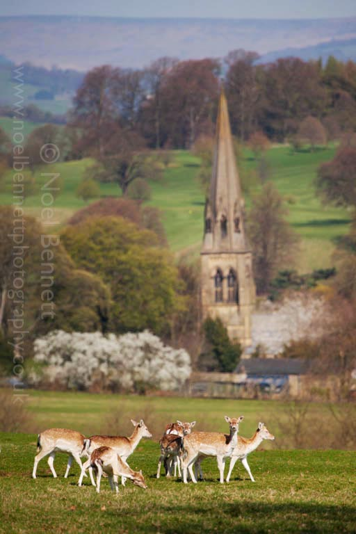 Deer at Chatsworth