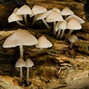 Fungi - Mycena Inclinata