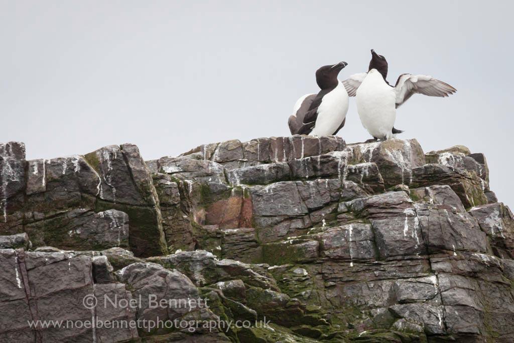 Razorbills On The Rocks