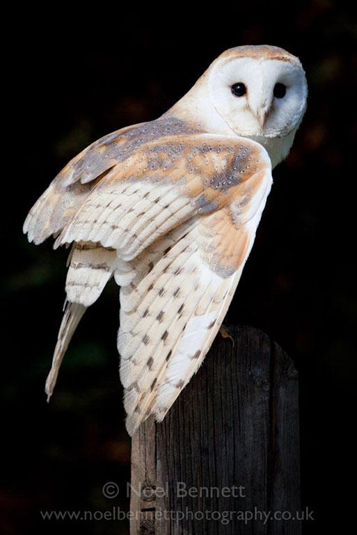 Barn Owl On Purch
