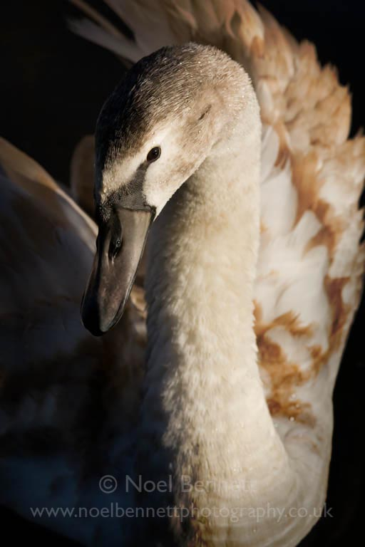Portrait of Juvenile Mute Swan
