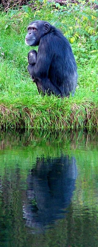 Reflective Chimp