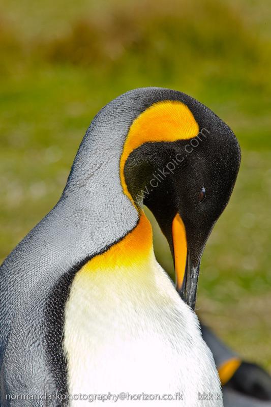DSC0173 King Penguin