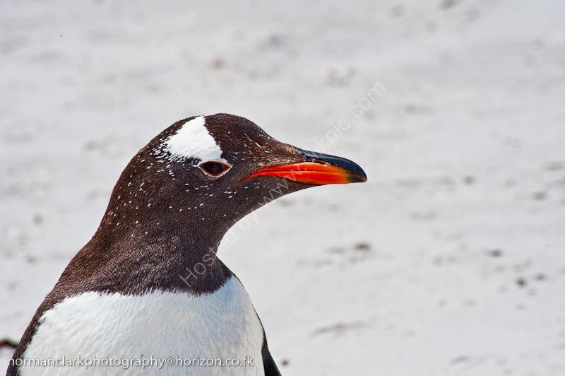 DSC3694<br> Gentoo Penguin