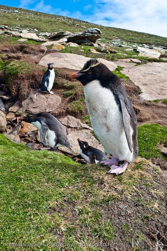 DSC3711<br> Rockhopper Penguin