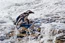 DSC4026 Magellanic Penguin