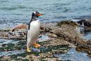DSC4116 Gentoo Penguin