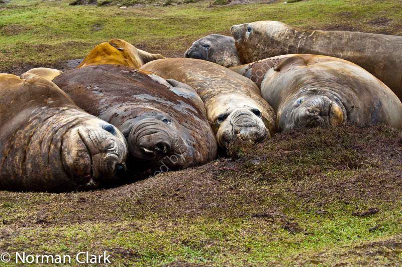 DSC6183-Southern Elephant Seal