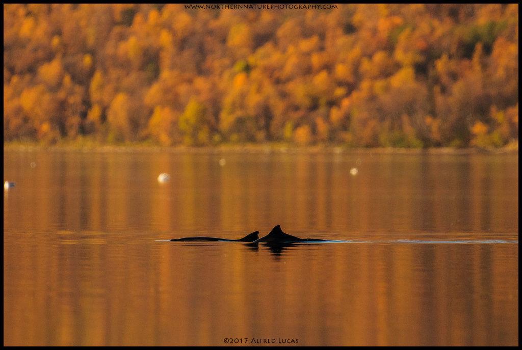Common Porpoise #1