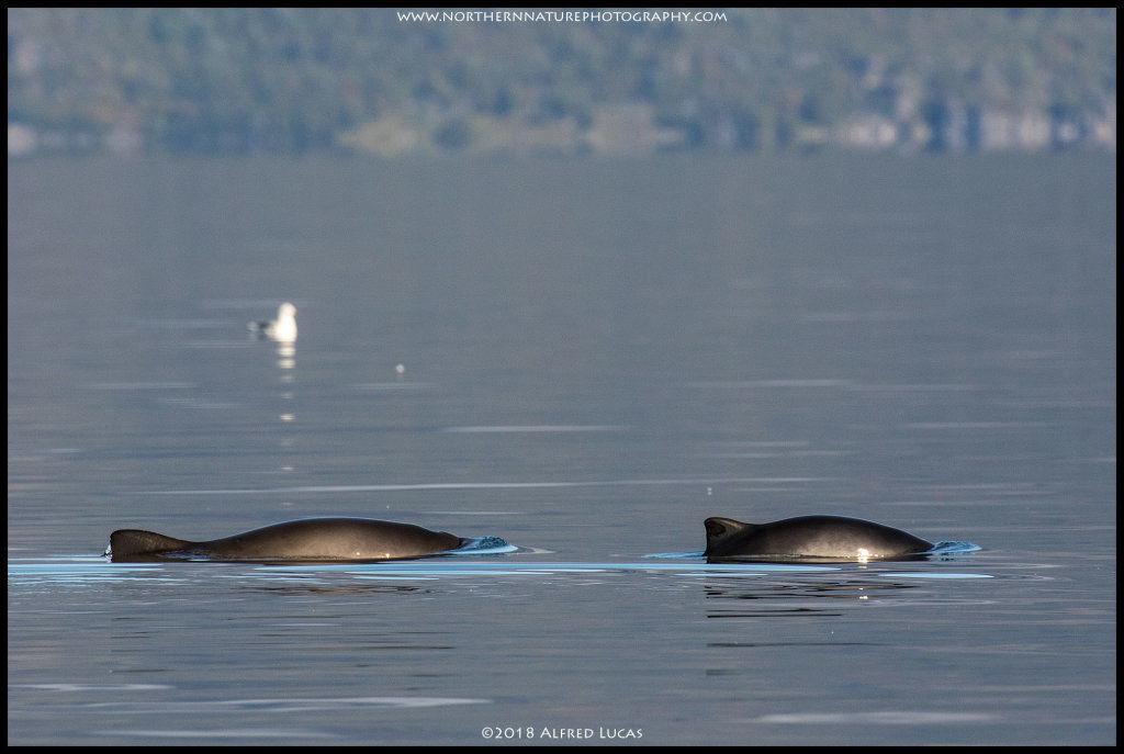 Common Porpoise #3