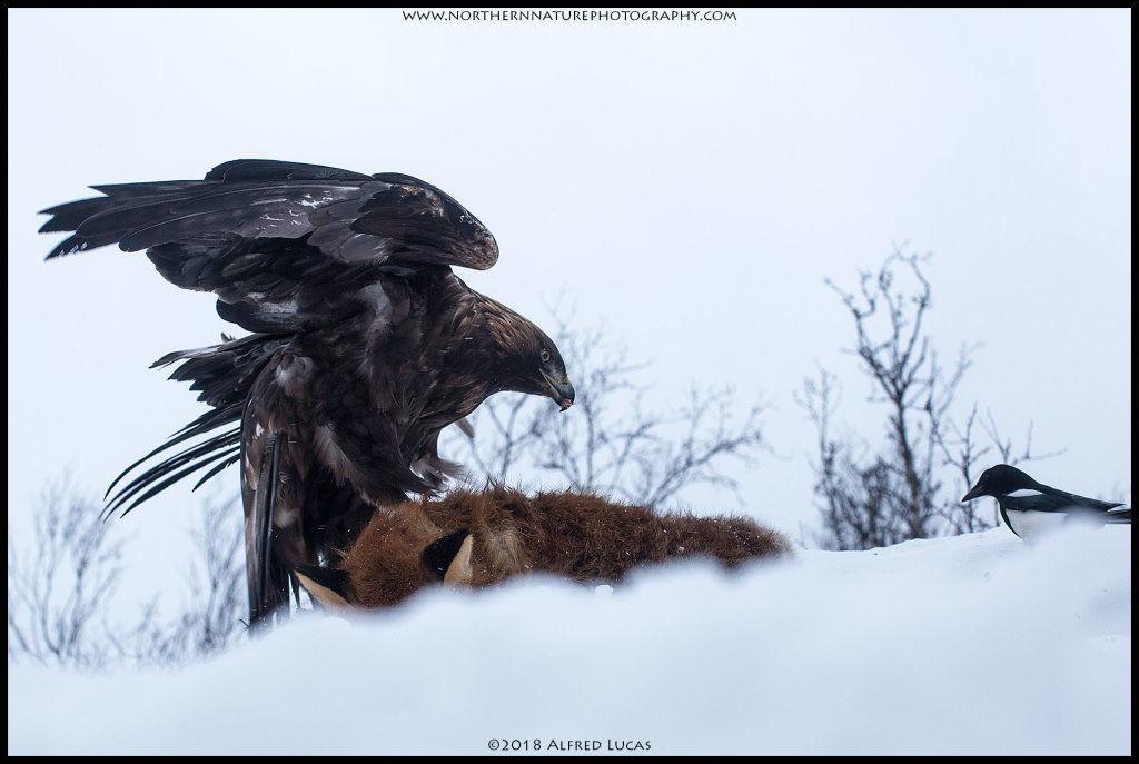 Golden Eagle #2