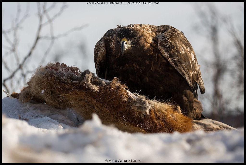 Golden Eagle #3